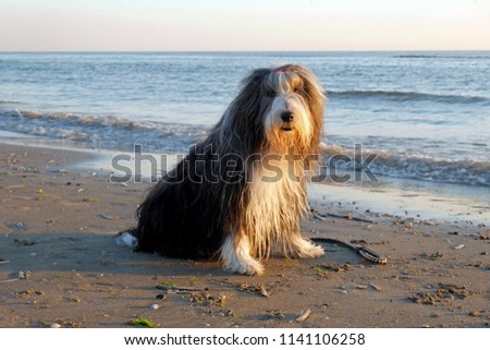 Bearded collie at the beach
