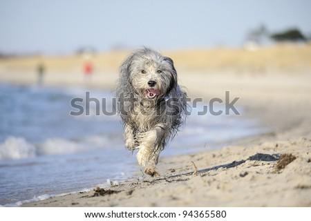 Bearded Collie on the beach