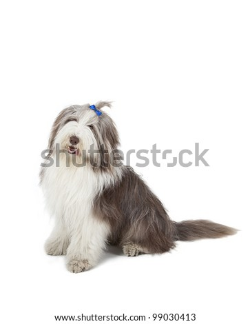bearded collie sitting in front of white background, bearded collie sitting