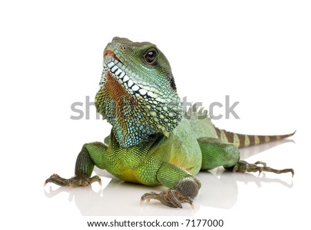 Bearded Dragon in front of a white background - stock photo