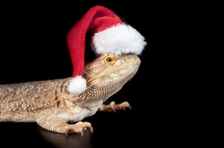 Bearded Dragon isolated on Black wearing red and white holiday Christmas Santa hat with copy space.