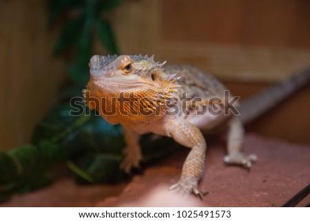Bearded dragon lizard pet animal reptile spiny cute portrait