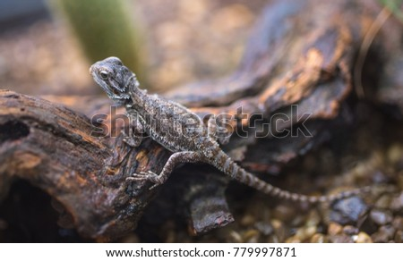 Bearded dragon (Pogona vitticeps) sitting on wood. Close up.