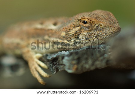 Bearded dragon sits on rock, with narrow depth of field