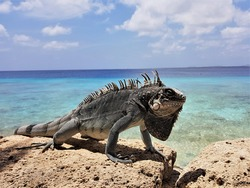 Bearded iguana (Lesser Antillean iguana) on the rocks . ocean in the background. Template for design of holiday greetings, decoration packaging, postcard, poster