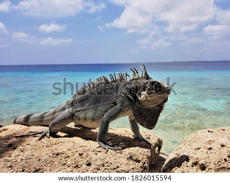 Bearded iguana (Lesser Antillean iguana) on the rocks . ocean in the background. Template for design of holiday greetings, decoration packaging, postcard, poster Zdjęcia stock ©