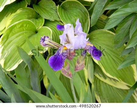 Free photos single purple flower with yellow center avopix bearded iris with beautiful white and purple petals with yellow center vivid garden flower with mightylinksfo