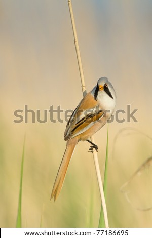bearded tit on the reed, male - reedling (Panurus biarmicus)