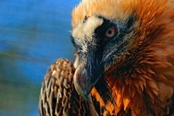 Bearded Vulture, Gypaetus barbatus, on the stone, detail bill portrait, Spain. Wildlife scene from nature. Orange bird, close-up portrait.