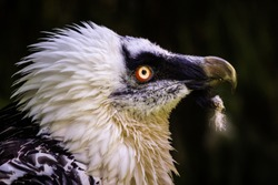 bearded vulture in the zoo