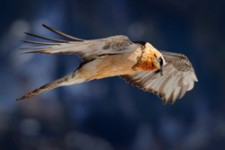 Bearded Vulture or Lammergeier, Gypaetus barbatus, flying bird above rock mountain. Rare mountain bird, fly with snow, animal in stone habitat, Valais, Switzerland. Bearded Vulture-Eagle in flight.