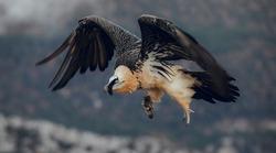 Bearded Vulture or Lammergeier, Gypaetus barbatus, flying bird on the rock mountain. Rare mountain bird, fly in winter, animal in stone habitat, with food on legs