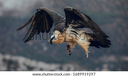 Bearded Vulture or Lammergeier, Gypaetus barbatus, flying bird on the rock mountain. Rare mountain bird, fly in winter, animal in stone habitat, with food on legs