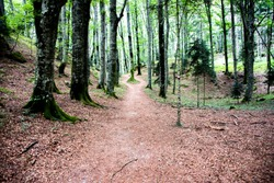 beaten path among the trees of a luxuriant wood under the Sanctuary of San Francesco in La Verna in the Casentino valley in Arezzo Tuscany, Italy