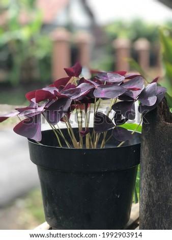 Beatiful flower from Java Indonesia