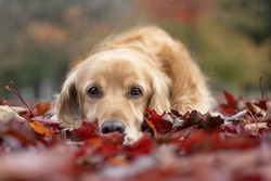 Beatiful golden dog lying in the red leaves and looking straight to the camera. It is crosbreed between cockerspaniel and labrador retriever. It is autumn.
