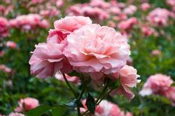 beatiful pink flowers in a garden