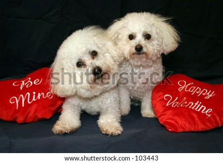 "Beau and Fifi Danger both Bichon Frise's sit with their ""Be Mine and Happy Valentine""  hearts"