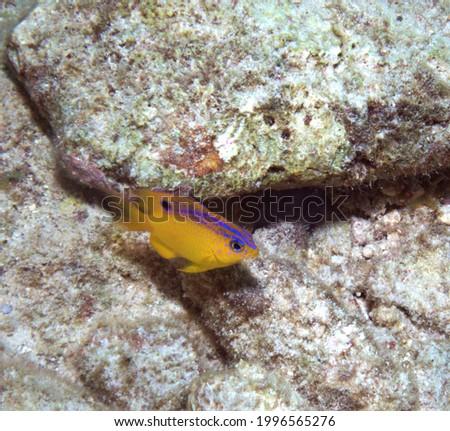 Beau Gregory Damselfish on the reef Photo stock ©