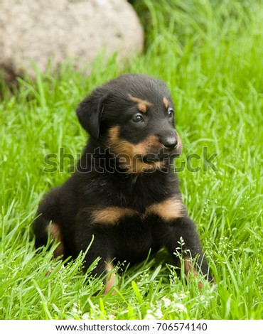Beauceron Puppy Ez Canvas