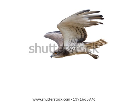 Beaudouins snake eagle (Circaetus beaudouini) in its natural habitat in Gambia #1391665976