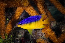 Beaugregory Damsel Fish amid Staghorn Coral