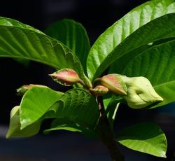 Beaumontia Species, Easter Lily Vine, Herald's Trumpet, Nepal Trumpet Flower