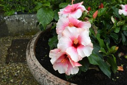 Beautidul Ibiscus flowers in a garden. Hibiscus (hibiscus). It is a genus of over 300 species of herbaceous, annual and perennial plants