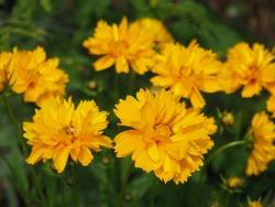 Beautifil yellow Sunray Tickseed, Coreopsis grandiflora 'Sunray' flowers in Hungarian rural area