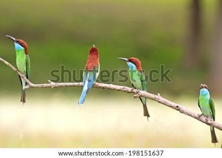 Beautifu Bee-eate bird ( Blue throated Bee eater) , Bird of Thailand