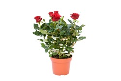 Beautifu red rose flower blooming with green leaves and branch on white background isolate and clipping path. Flower symbol of love , for valentine's day, wedding, woman's day, mother's day.