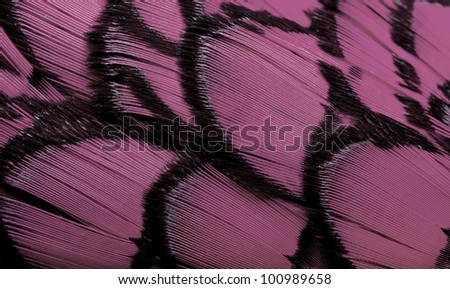 Beautiful abstract background consisting of light pale pink dyed lady amherst pheasant feathers