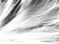 Beautiful abstract black feathers on white background and soft white feather texture on white pattern, dark theme wallpaper, gray feather background, black banners, dark texture