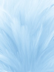 Beautiful abstract colorful white and blue feathers on white background and soft white feather texture on blue pattern and blue background, feather background, blue banners