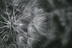 Beautiful abstract dandelion flower background. Nature backdrop for seasonal cards, blog and web design. Black and white
