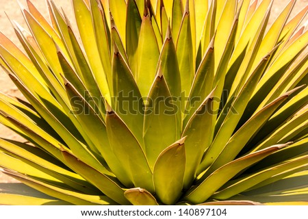 Beautiful abstract leaf patterns of a desert aloe vera plant with dramatic natural lighting.