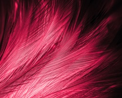 Beautiful abstract red feathers on dark background and black feather texture on red pattern and red background, pink feather wallpaper, love theme, wedding valentines day