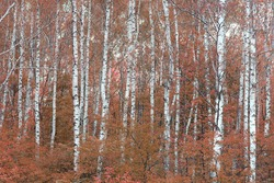 beautiful abstract scene with birches in red autumn birch forest in october among other birches in birch grove