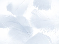 Beautiful abstract soft blue feathers on white background, white feather texture on white theme, brown background, white texture wallpaper, love theme wedding, valentines day