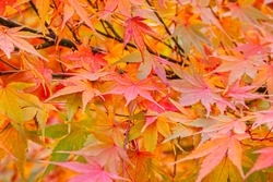 Beautiful Acer palmatum ( palmate maple or smooth Japanese maple ) leaves. Fall red maples in Germany. Red-foliaged Japanese maple, close up. Good Red  Fall Foliage.