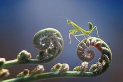 beautiful action of praying mantis