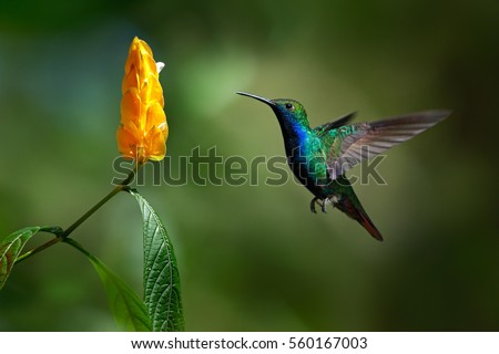 Beautiful action scene, bird and flower. Green and blue Hummingbird Black-throated Mango, Anthracothorax nigricollis, flying next to beautiful yellow bloom. Wildlife scene from tropic nature, Trinidad
