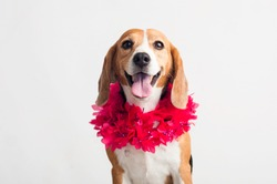 Beautiful, adorable beagle dog using a neck flowers on white background. Pink