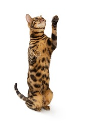 Beautiful adult cat bengal breed isolated on white background. Cat stands on its hind legs and looking up.