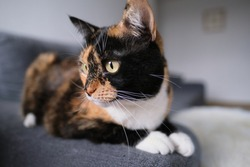beautiful adult domestic cat proudly lies on the rug, looks around, the concept of keeping four-legged pets, veterinarian, love for animals