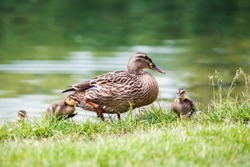 beautiful adult duck comes out of the water to the shore of a pond with small ducklings