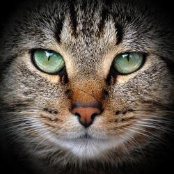 Beautiful adult gray tabby cat is on the black background.