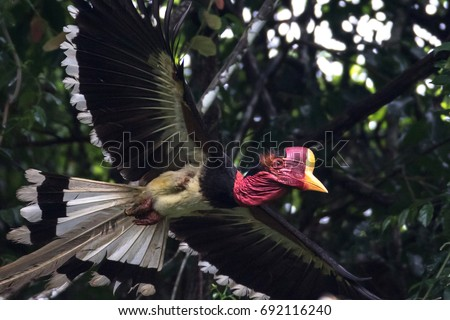 Beautiful Adult male Helmeted Hornbill (Rhinoplax vigil) fly from the nest on the high branch in the nature, Southern of Thailand #692116240
