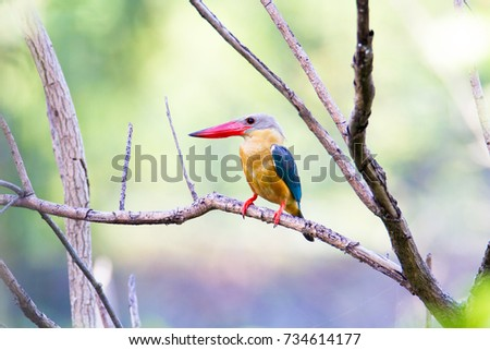 Beautiful adult Stork-billed kingfisher (Pelargopsis capensis) the tree kingfisher punch on the branch under the fresh daytime in the nature, The jungle of Thailand