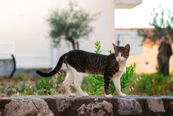 Beautiful adult tabby cat goes about his business in the resort town between houses